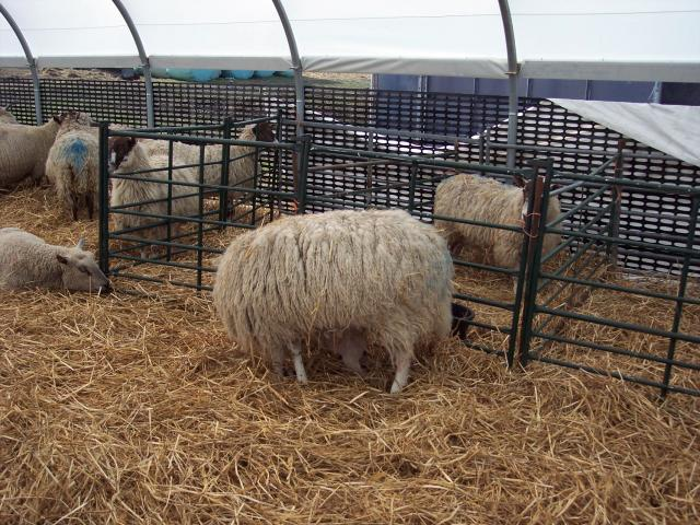 The farmer had built a poly-tunnel to shelter then ewe's whilst they lamb and make their care easier. It also has pens so the mothers can be together with their lambs after birth without disturbance from the other sheep. The ewes all lamb over a period of about three days. Picture taken 30th March 2...