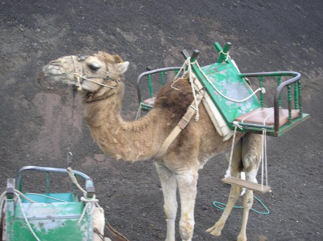 Over 200 camels (dromedaries) live in the National Park at Timanfaya in Lanzarote. They are to provide the tourists with a ride up the side of one of the region's volcanoes. Each animal carries two people and the camel train is then led up the side of the mountain by a guide. The camels are all muzz...