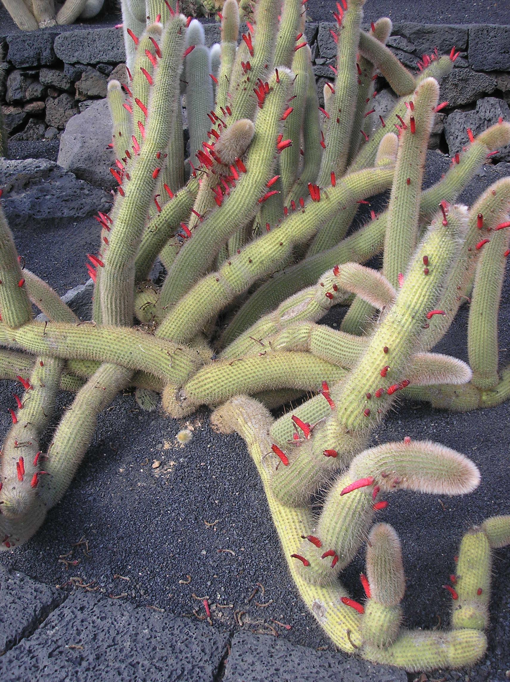 Cacti at the jardin de cactus lanzarote nen gallery for Jardines con cactus
