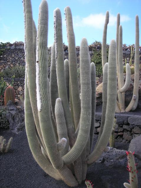 Cacti at the jardin de cactus lanzarote nen gallery for Jardin cactus lanzarote