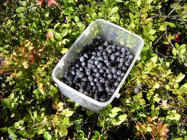 Whortleberries, -also known as Bilberry blaeberry, whortleberry, whinberry or winberry. Image from Wikipedia