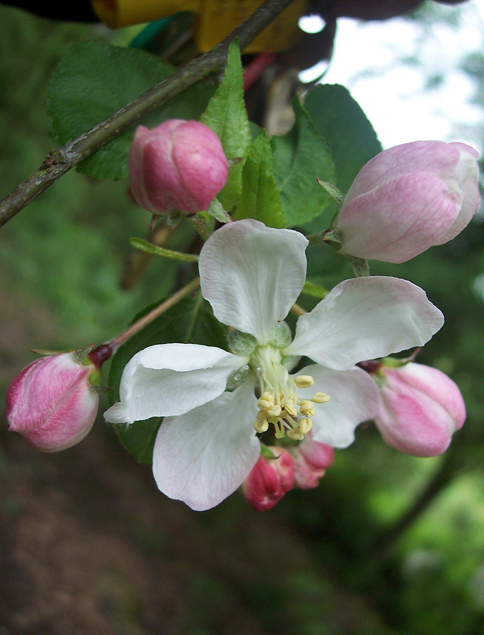 Crab apple coming into flower. Crab apple is a small thorny tree with irregular scaly bark and toothed oval leaves. In May it produces white-pinkish flowers. The fruits are globular about 2cm and look like small apples but are acrid. The tree is native in old oak woods. Picture taken 2nd May 2008.