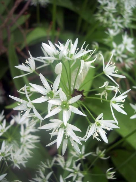 Ramsons can carpet a deciduous woodland and are usually found alongside celandines and bluebells. It is a bulbous plant that has white flowers loosely held on a flower head. It can grow up to 45cm and flowers from April to August. The chopped and cooked leaves have been used to flavour dishes and sa...