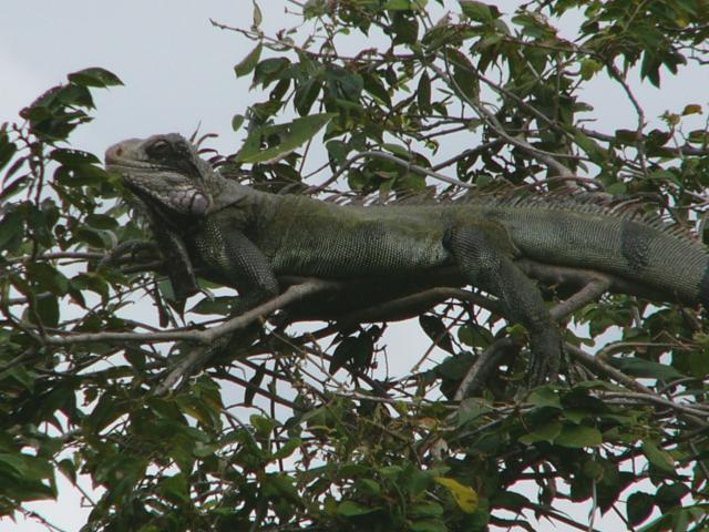 The green iguana is a large reptile that can grow to over 2 meters in length.