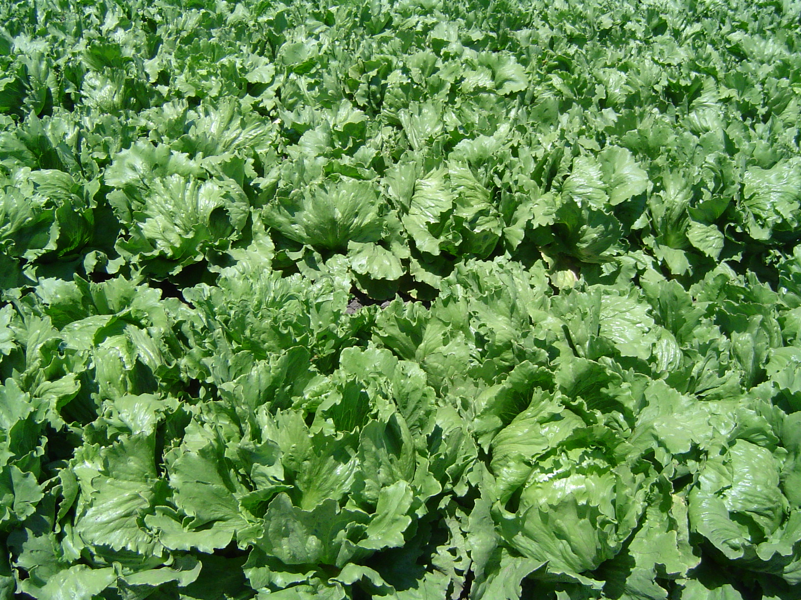 Lettuce Mild in flavour, it has been described over the centuries as a cooling counterbalance to other ingredients in a salad The lettuce that we see today actually started out as a weed around the Mediterranean basin. Served in dishes for more than 4500 years, lettuce has certainly made its mark in...