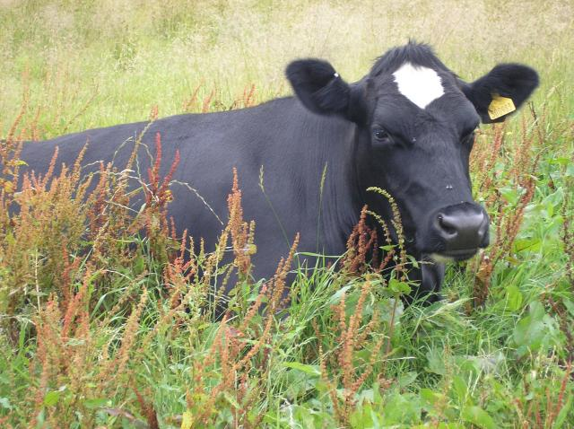These Friesian cows were photographed in a field near Amberley, Sussex on the South Downs.