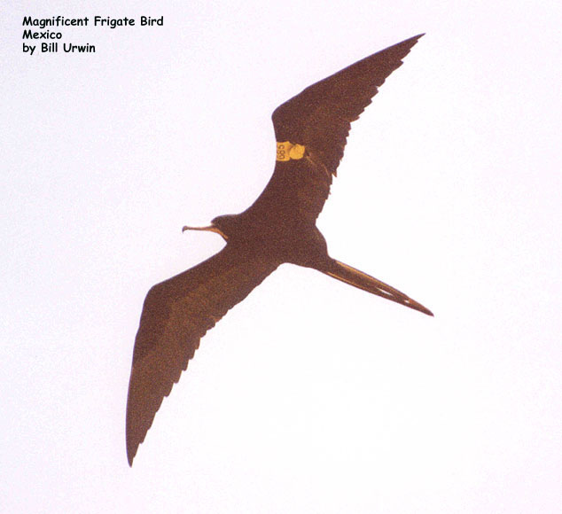 Magnificent Frigatebird, Mexico (tagged wing)