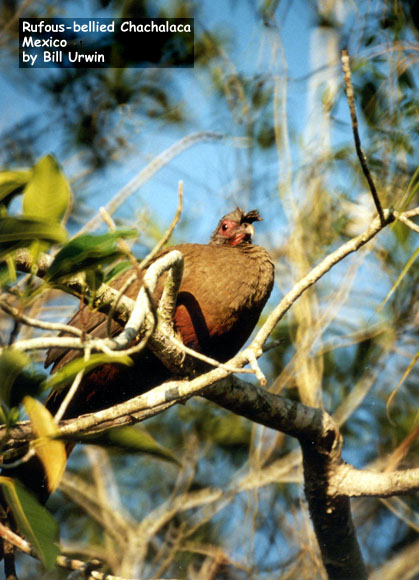 Rufous-bellied Chachalaca, Mexico