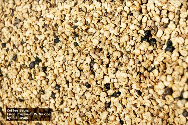 Dried Coffee beans, Finca Prussia, south-west Mexico