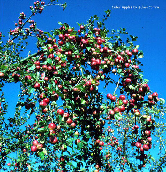 Cider Apples against a blue sky