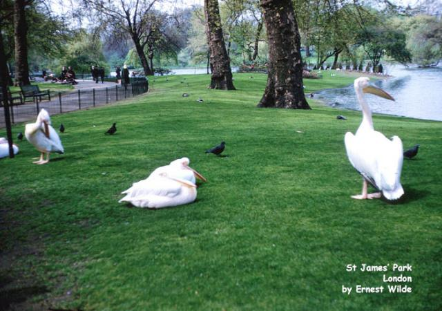 Pelicans in St James's Park, Westminster, London (photographed in the 1960s)