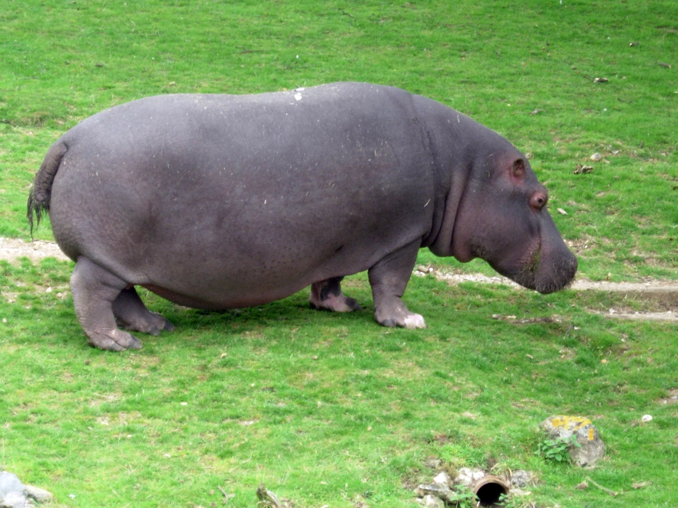 In the wild the hippo can be found East, Central West and South Africa in slow flowing rivers lakes and swamps. They eat grass, fruit etc. They can live up to 40 years in the wild. They are the second heaviest mammals on earth and are dangerous. They secrete a reddish coloured liquid from their pore...