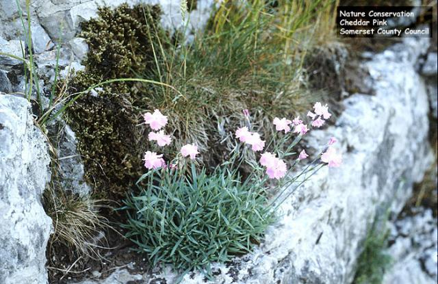 Cheddar Pink (Dianthus gratianopolitanus) - this rare Pink grows only on the limestone rocks in the locality of Cheddar Gorge in Somerset