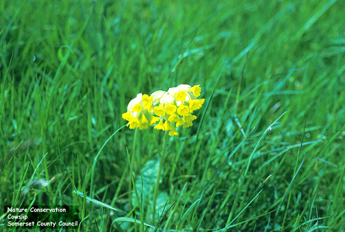 Cowslip (Primula veris) - a member of the Primrose family