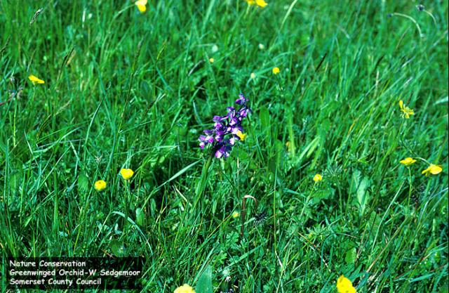 Green-Winged Orchid (Orchis morio, or Anacamptis morio)