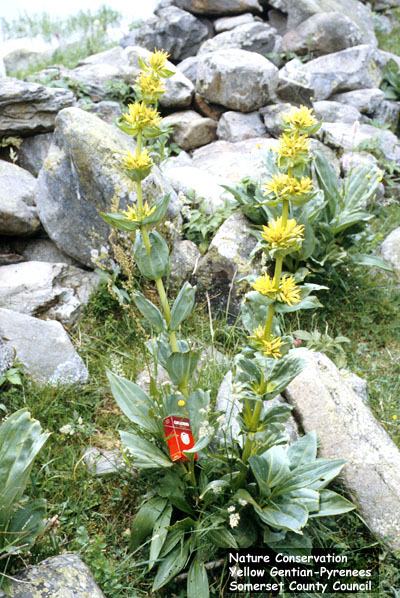 Yellow Gentian (Gentiana lutea) is found in Europe and western Asia - this plant was photographed in the Pyrenees, France