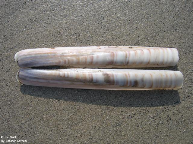 Razor Shell.  There are three species of Razor Shell: Common Razor Shell (Ensis ensis), the Pod Razor Shell (Ensis siliqua), and Ensis arcuatus.
