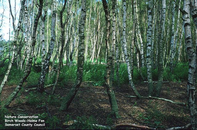 Birch Woods, Holme Fen, Cambridgeshire.  The Fens are the lowest point in Britain - over 4 metres below sea level.
