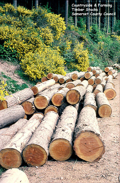 Timber stacks: logs from felled trees