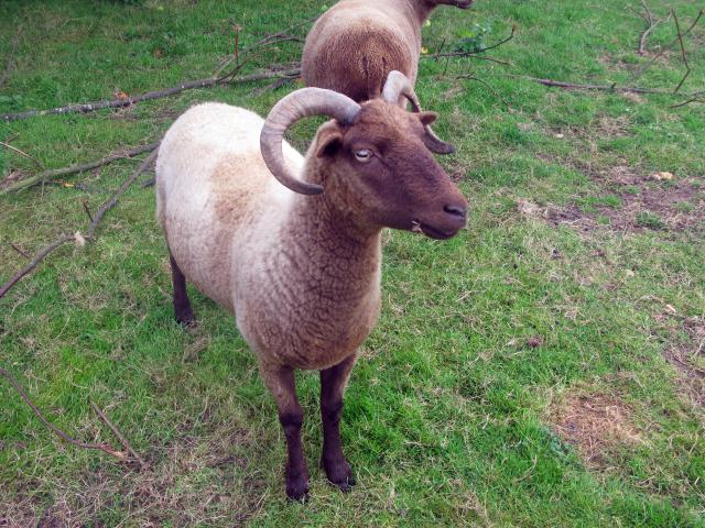 "Sheep were one of the first type of animals to be ""domesticated"" - that is, used as farm animals. This first happened in the Middle East, around 7000 BC. Sheep came to this country with the first farmers, about 2000 years later. At this date, sheep were not the fat, woolly animals we know ..."