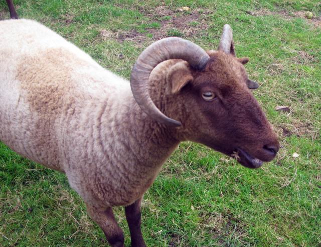 "Sheep were one of the first type of animals to be ""domesticated"" - that is, used as farm animals. This first happened in the Middle East, about 7000 BC. Sheep came to this country with the first farmers, about 2000 years later. At this date sheep were not the fat, woolly animals we know to..."