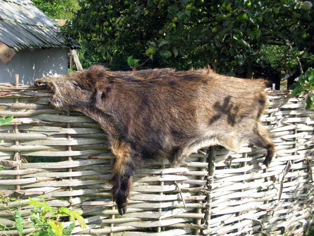 Long after farming came to this country, people continued to hunt wild animals for their meat and skin. Animal skins were an important material for making clothes. Wild pigs were common in British forests until the last few hundred years.