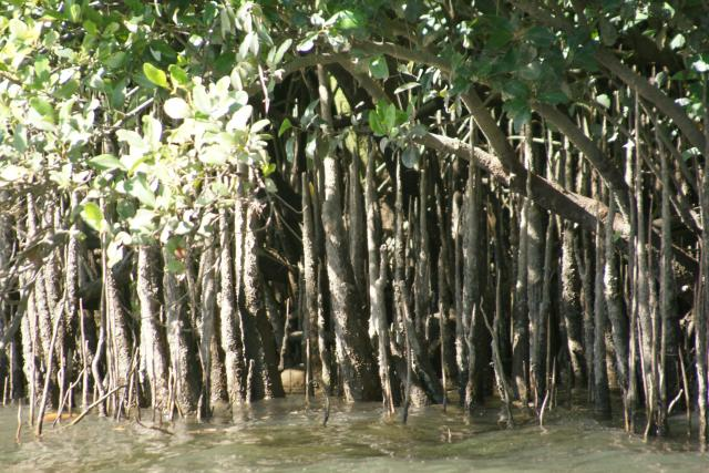 Mangrove swamp on the Daintree River, Queensland, Australia
