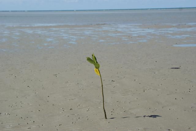 This solitary plant was growing 50m from any other plant, but will one day be a clump of mangroves!