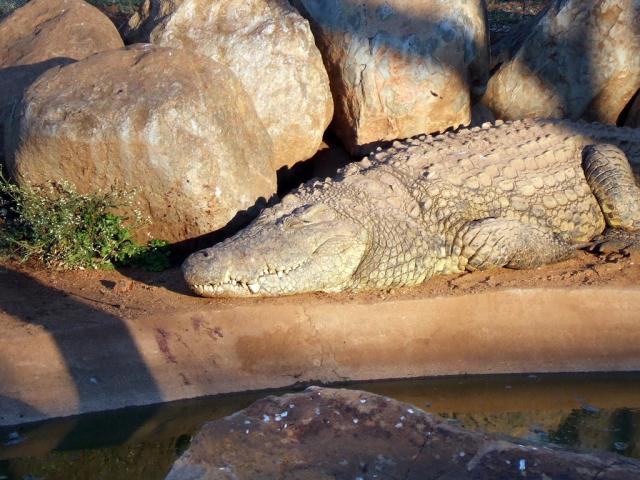 A Coocodile sunbathingin the morning.