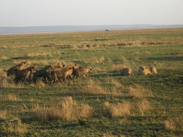 Hyenas and lions fighting over food in the masai mara