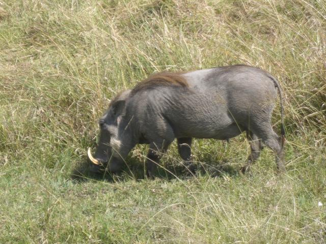 warthog in the masai mara