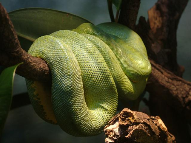 They are found in the South American Amazon basin, from Peru and Bolivia eastward through Brazil and the Guianas, living in tree tops.