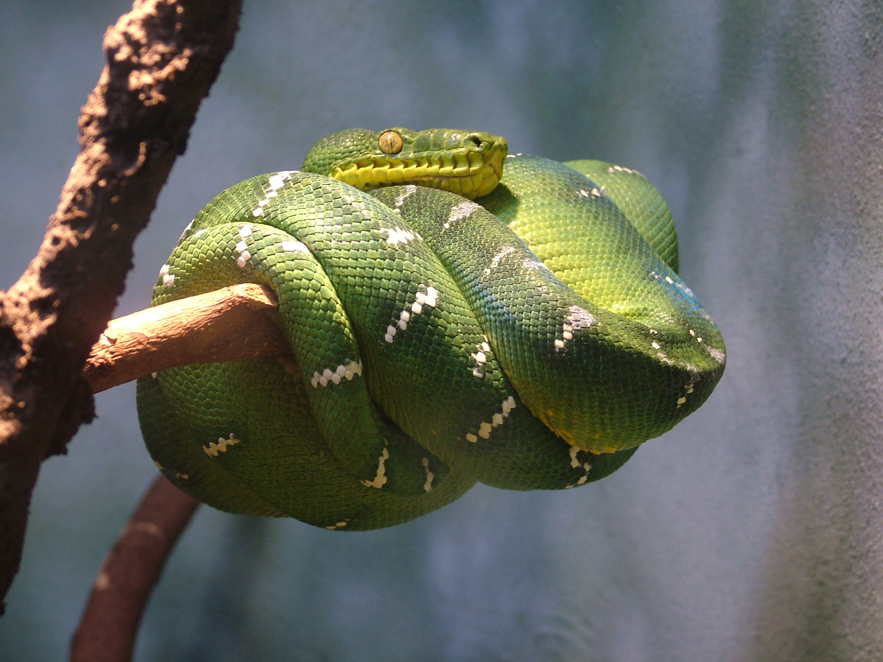 Emerald Tree Boa at Central Park Zoo, New York: NEN Gallery