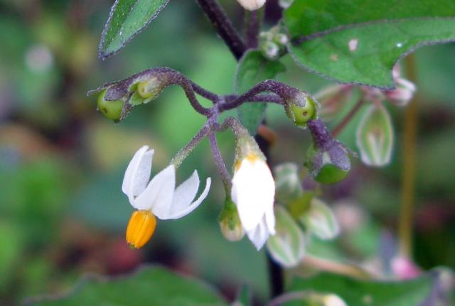 A common flower of cultivated land. It flowers July to September with white star shaped flowers with yellow centres. The fruits are green when young, ripening to black. Like Bittersweet it contain the poisonous alkaloid -solanine. However its Latin name Solanum comes from the word 'solice' and is a ...