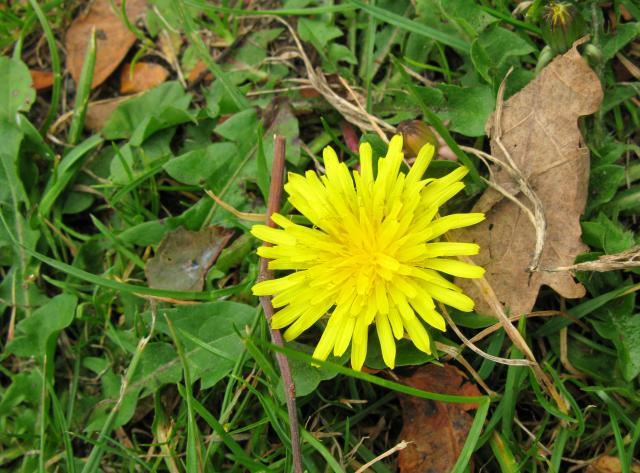 Dandelion gets its name from the pointed teeth like shape of its leaves. Flowers can be found all the way through from March to October. It has sunlike flower heads which close at night. It has been used in drinks and broths for a variety of illnesses, no longer used medically it is still of value. ...