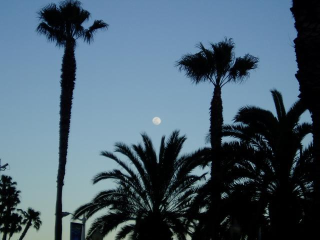 The moon at dusk silhouetting the palm trees that line Santa Monica