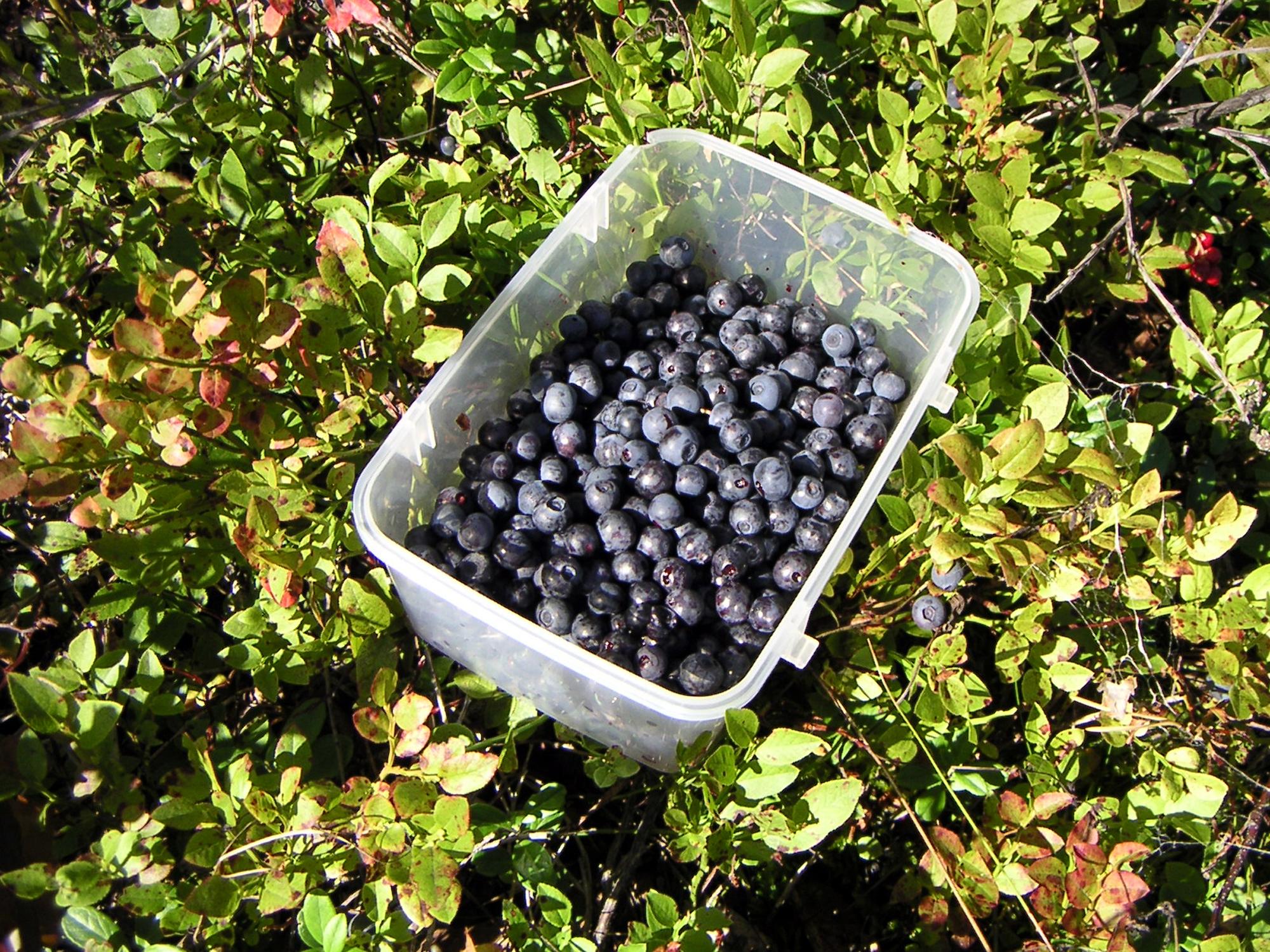 Клюква: сорта, выращивание и уход 28
