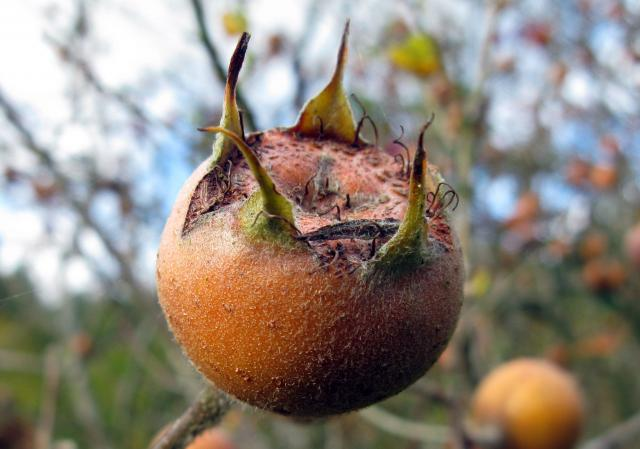 A large shrub or small tree. It is also the name of the fruit of this tree. It was an early introduction to Britain and important in Medieval times. It is indigenous to southwest Asia. It requires mild winters and prefers sunny, dry locations and slightly acidic soil. It can grow up to 8m tall, alth...