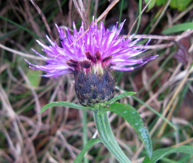 Of the daisy family, Black Knapweed can grow to 60cm tall, with red-purple crown like flowers. It grows on grasslands, roadsides and wasteland. Picture taken Felmersham November 6th 2009.