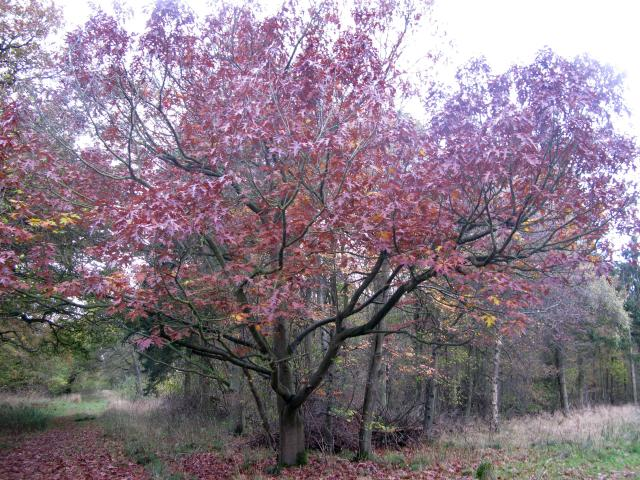A native originally of North America, Red Oak has been widely planted in England and in some places has naturalised. It has a straight smooth silvery trunk and, in England, reaches up to about 25m. The leaves are more deeply lobed than in other Oaks and have fine points at the tip. The male flowers ...