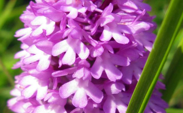 This plant has pure pink flowers held in a distinctive pyramid spike. The flowers are adundant in nectar, attracting moths and butterflies. It is finely adapted for insect pollination. It is an upright hairless plant with pointed narrow leaves. It grows on chalk and limestone grasslands. It is one o...
