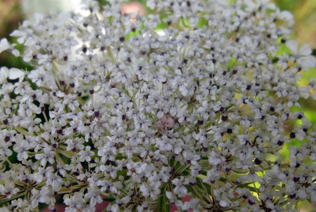 This plant has small white flowers with petals that are often uneven in size. The central flower is often purplish-red. The fruiting head is concave and the fruits have long spines that attach themselves to passing animals. It is an upright plant with stiff hairs and ridged or lined stems. It has ve...