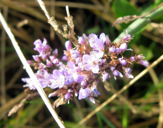Sea lavender is an attractive plant of salt marshes and muddy saline pools. It has oval, erect leaves arranged at the woody plant base. The flower clusters are found only on upper branches of the strong, upright stems. The colour of the flower varies from blue or purple to lilac. The rich lavender c...