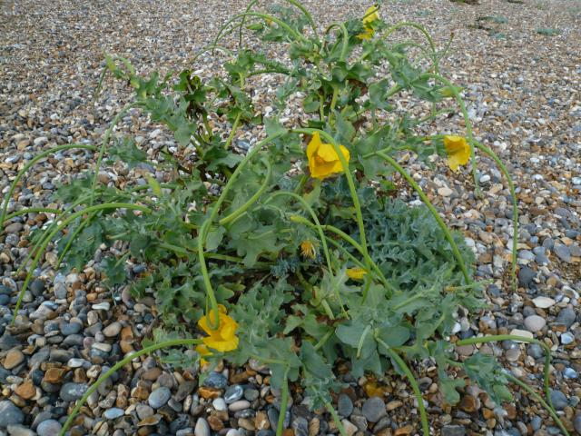 A plant with bright yellow flowers (5-7cm across) and with thick leaves; the lower ones with long petiole; the upper ones unstalked. The flowers are succeeded by long narrow seed pods. It has orange foul smelling sap and grows on the coast preferring shingle beaches. All parts of it are poisonous an...