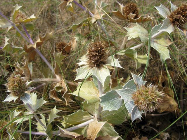 The Sea Holly flowers on this plant are dying off but they are usually burr-shaped and metallic blue. The leaves are spiny and have a thick outer cuticle to protect against the sea spray and water loss. It can be found on sand dunes. Picture taken at Holkam Sands, Norfolk 22nd September 2010.