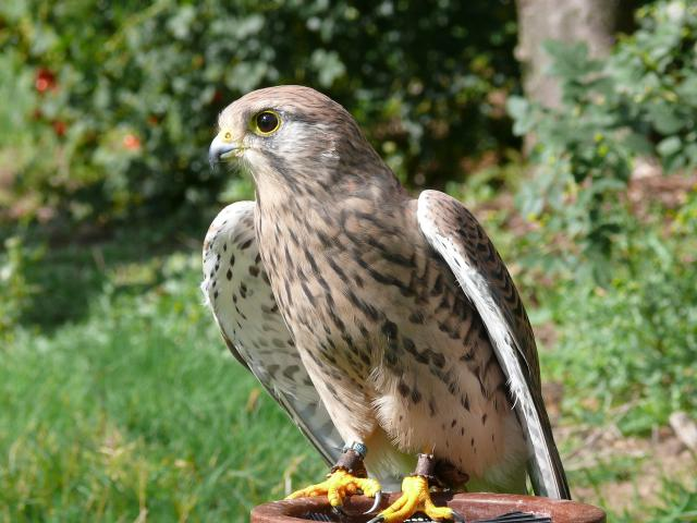 This photograph is of a female kestrel taken at a falconry display at Hyde Hall in Essex. The display was provided by 'Out of the Hood Falconry' who specialise in working with schools.