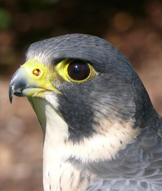 This photograph is of a Peregrine Falcon  and was taken at a falconry display at Hyde Hall in Essex. The display was provided by 'Out of the Hood Falconry' who specialise in working with schools.