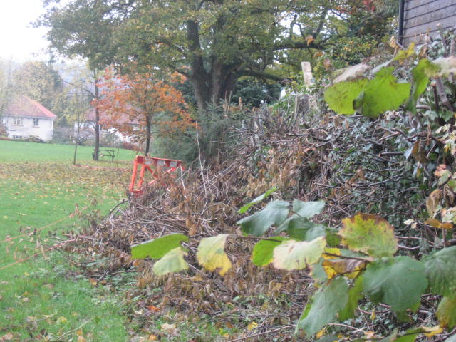this is a hedgerow which has been clipped