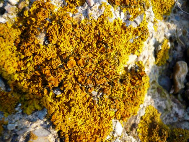 The most common yellow-orange lichen, it is often, although not exclusively, found near to the sea and is tolerant of salt spray and nitrogen and can be found on rocks and near seabird perches and on the trunks of salt marsh shrubs. Its spores are released from fruiting discs in the centre of the th...