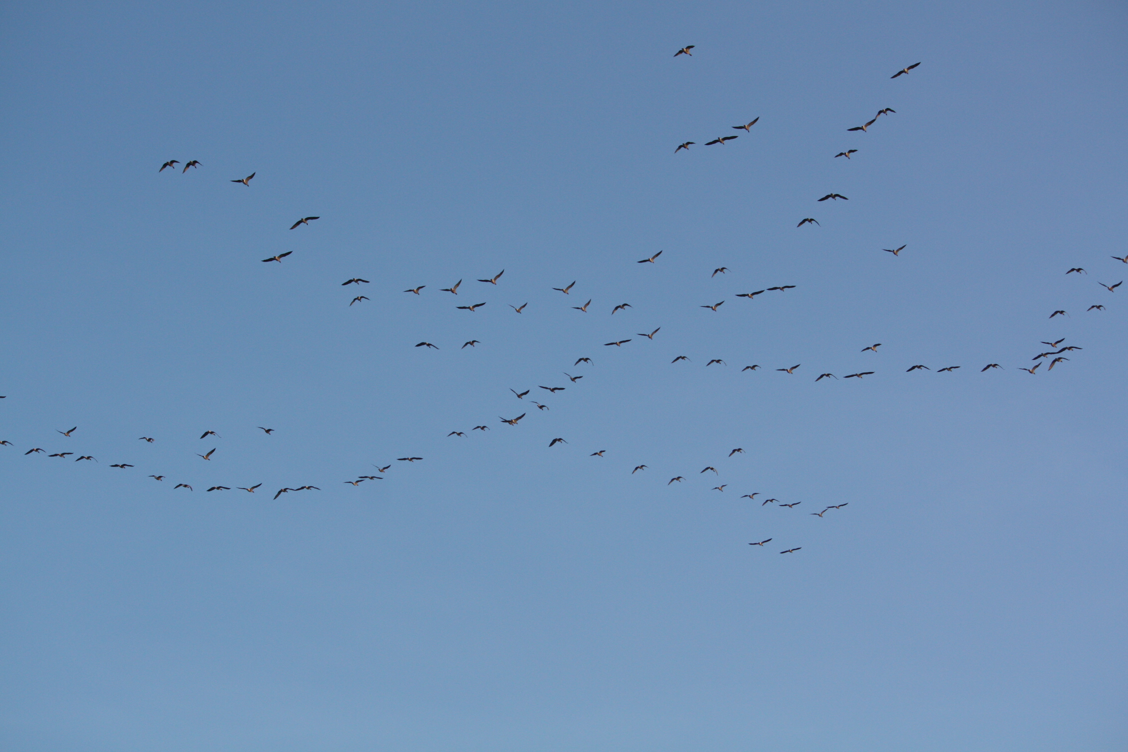 Large numbers of Canada Geese flying inland at the end of the afternoon.